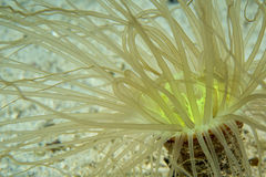 A ceriantus underwater sea yellow flower worm Stock Images