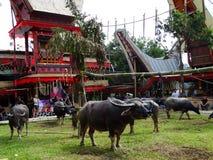 Cerimonia funerea tradizionale di Toraja, Rantepao, Celebes, Indonesia fotografia stock