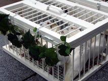 Cerimonia nuziale: colombe bianche che attendono per essere rilasciato Fotografie Stock Libere da Diritti