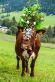 Cerimonia tradizionale della mucca Fotografia Stock Libera da Diritti