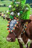 Cerimonia tradizionale della mucca Fotografie Stock Libere da Diritti