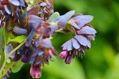 Cerinthe major purpurascens blue honeywort Stock Photo