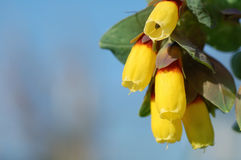 Cerinthe major or Honeywort yellow flowers. Yellow flowers of Cerinthe major or Honeywort Royalty Free Stock Photo