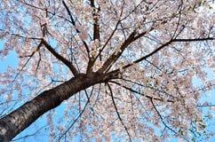 Cerise admirablement de floraison en Corée du Sud Image libre de droits
