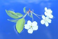 Cerise blanche Photos libres de droits