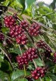 Cerise crue de grains de café Photo libre de droits