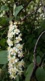 Cerise d'oiseau fleurie images stock