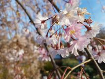 Cerise d'usine de ciel de bourgeon de flore de fleur photographie stock