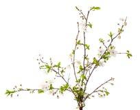 Cerise dans la fleur Photographie stock