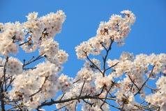 cerise de fleur Photographie stock libre de droits