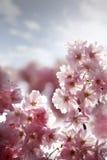 cerise de fleur Photographie stock