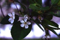 Cerise de floraison Photographie stock libre de droits