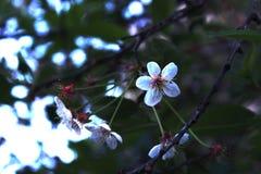 Cerise de floraison Image libre de droits