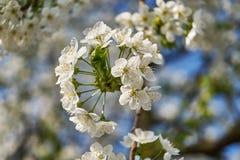 Cerise de floraison, beau temps de ressort photos libres de droits