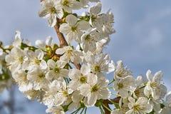 Cerise de floraison, beau temps de ressort images stock
