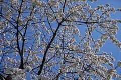 Cerise de floraison, beau temps de ressort Fond, texture photographie stock