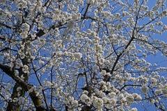 Cerise de floraison, beau temps de ressort Fond, texture image libre de droits