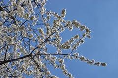 Cerise de floraison, beau temps de ressort Fond, texture photographie stock libre de droits