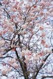 Cerise de floraison orientale Photos stock