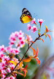 cerise de l'Himalaya d'ฺฺButterfly&Wild Photos stock