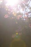 Cerise de l'Himalaya sauvage Image stock