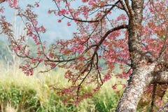 Cerise de l'Himalaya sauvage Photos stock