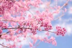Cerise de l'Himalaya sauvage (cerasoides de Prunus) à la montagne de Phu Lom Lo Photo libre de droits