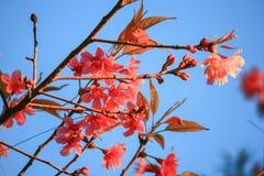 Cerise de l'Himalaya sauvage (cerasoides de Prunus) Images libres de droits