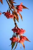 Cerise de l'Himalaya sauvage (cerasoides de Prunus) Photos libres de droits