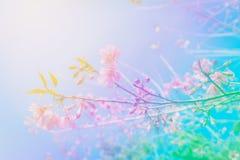 Cerise de l'Himalaya sauvage de fleur abstraite colorée de fond au Chi Photo stock