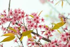 Cerise de l'Himalaya sauvage, fleurs de cerisier photos stock