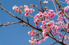 Cerise de l'Himalaya sauvage ou cerise fleurissante japonaise Photo stock