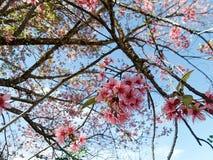 Cerise de l'Himalaya sauvage rose de floraison sous le ciel bleu Images stock