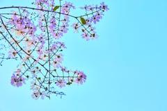 Cerise de l'Himalaya sauvage sur le ciel vif photo libre de droits
