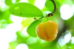 Cerise des Antilles Photo stock