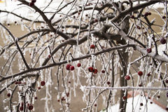 Cerise en hiver avec la gelée Image stock
