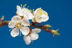 Cerise-fleur Photos stock