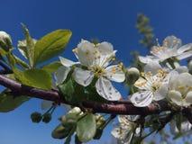 Cerise, fleur, ressort, fleurs, nature, blanc, fleur, arbre, fond, fleurissant, jour, vert, fleurs, couleur, feuille, fre Photos libres de droits