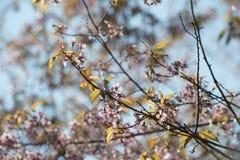Cerise fleurissant chez Doi Angkhang, Thaïlande En Thaïlande nous reine appelons de 'Nang Paya Sua Krong' il moyen ' photographie stock libre de droits