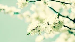 Cerise fleurissant, milieux de ressort de beauté Photo stock