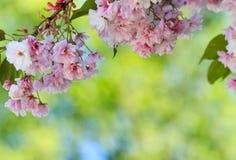 Cerise fleurissant sur le fond vert Images libres de droits
