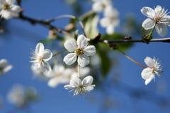 Cerise fleurissante Photographie stock libre de droits