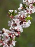 Cerise fleurissante Images stock