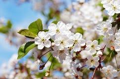 Cerise fleurissante Photo libre de droits