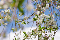 Cerise fleurissante Image stock