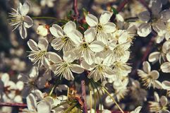 Cerise fleurissante au printemps avec les fleurs blanches Plan rapproché abrégez le fond photographie stock