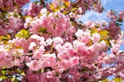 Cerise fleurissante en avril photographie stock