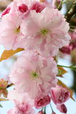 Cerise fleurissante japonaise (serrulata de Prunus) Images stock