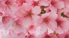 Cerise japonaise Photo stock