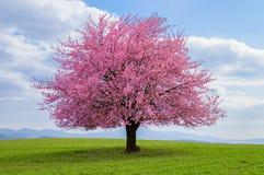 Cerise japonaise Sakura en fleur images stock